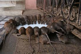 Rats drinking sewer
